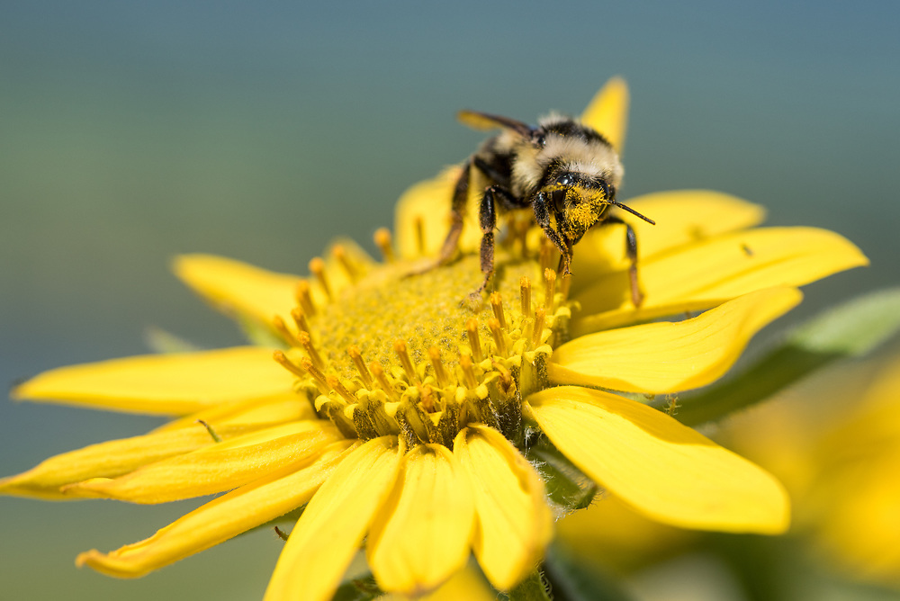 Bee on a yellow flower, Wallowa Valley, Oregon.