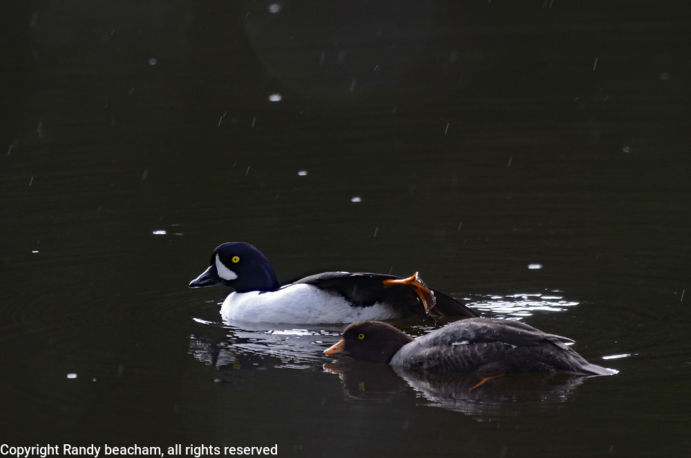A pair of Barrow's Goldeneye performing courtship display before breeding during mating season in spring. Hoskin's Lake in the Purcell Mountains, northwest Montana.