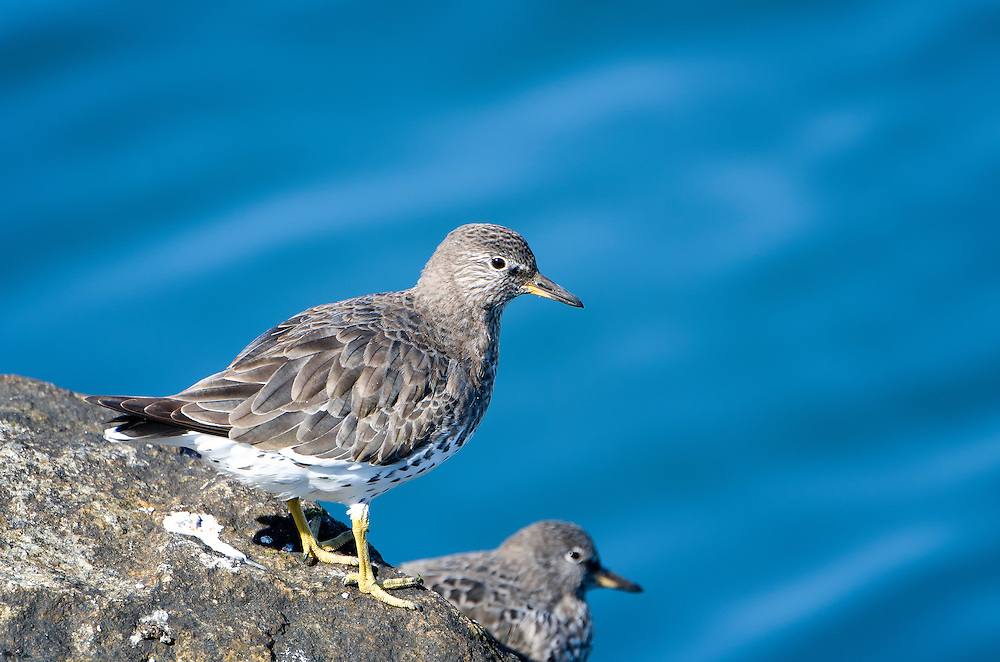 The surfbird has a very long, but narrow winter range going from the Strait of Magellan in Chile to Alaska, but only a few meters above the tide line.