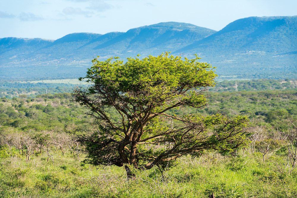 A Lone Tree in the African bush with mountains in the background
