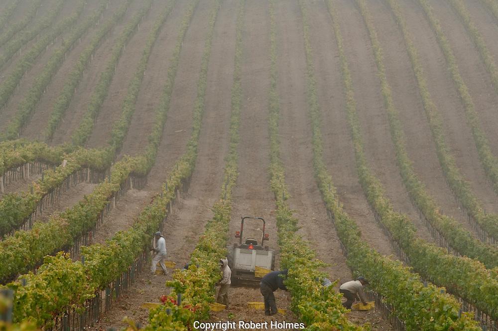 Pinot Noir harvest at Laetitia Vineyards, Arroyo Grande, California
