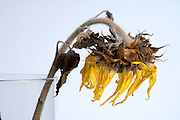 close up of dying sunflower head in a vase