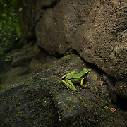 Hose's Frog (Odorrana hosii) in Namtok Raman forest park, Thailand