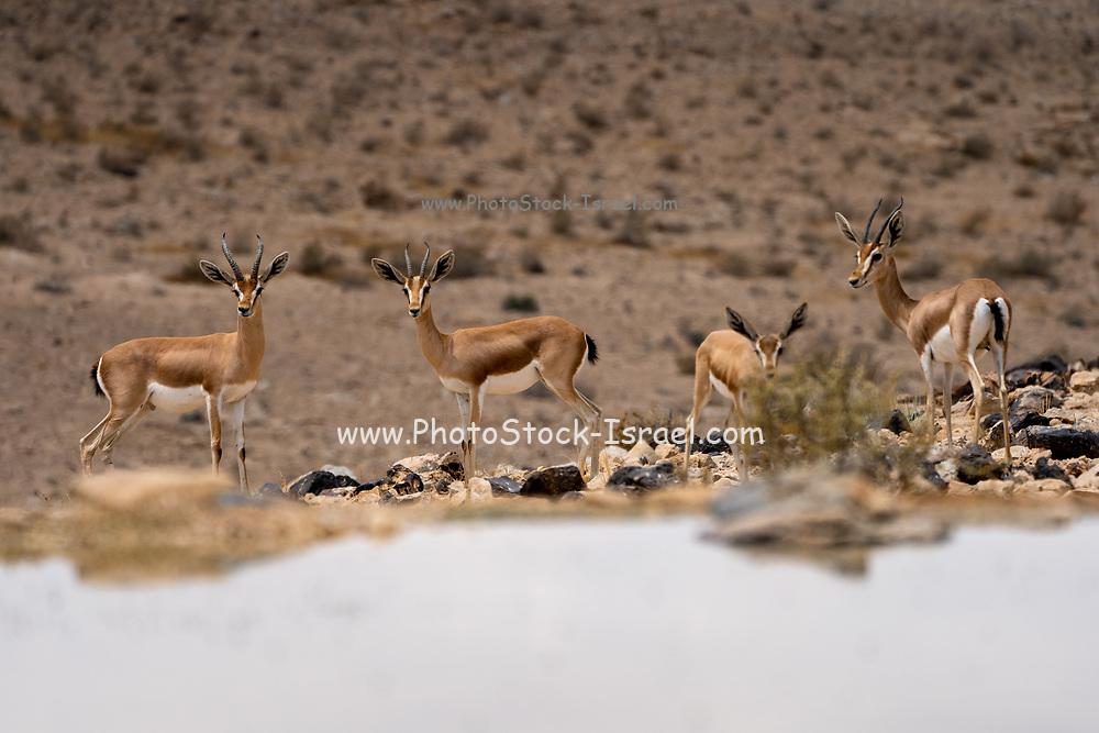 A herd of Dorcas Gazelle (Gazella dorcas), also known as the Ariel Gazelle Photographed near a water hole in the Negev Desert, Israel