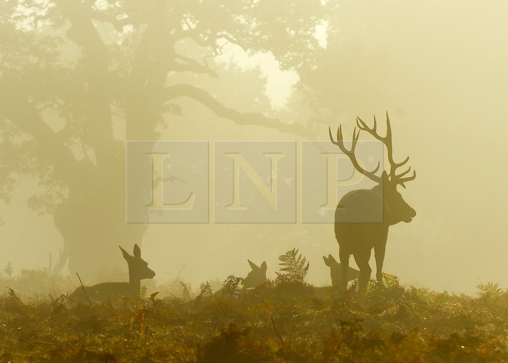 © Licensed to London News Pictures. 14/10/2012. Richmond, UK A heard of deer, watched over by a stag,  in the morning sunshine. Early mooring mist and sunshine in Richmond Park, Surrey, today 14th October 2012. Photo credit : Stephen Simpson/LNP