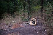 Bhamera, Male Tiger, in Bandhavgarh Tiger Reserve, India