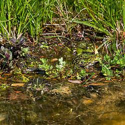 Rã-comestível (Pelophylax esculentus) fotografado na Alemanha. Registro feito em 2019.<br /> ⠀<br /> ⠀<br /> <br /> <br /> <br /> <br /> <br /> <br /> <br /> <br /> <br /> <br /> ENGLISH: Edible Frog photographed in Germany, in Europe. Picture made in 2019.