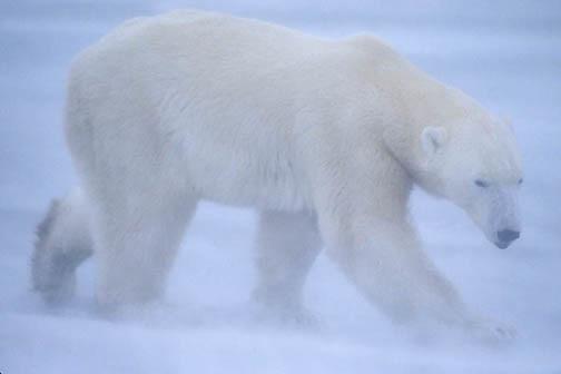 Polar Bear, (Ursus maritimus) Adult on frozen ice of Churchill, Manitoba. Canada. Snowstorm.
