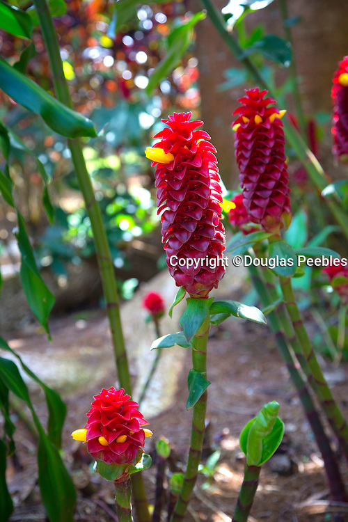 Ginger Flower,  World Botanical Gardens & Waterfalls.at Botanical World, Hamakua Coast, Big Island of Hawaii