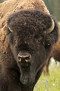 A massive bull bison observes a herd of cows and calves prior to the onset of the August rut.
