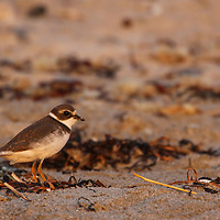Bird photo from New England nature photographer Juergen Roth featuring a Semipalmated Plover on Sandy Beach in Cohasset, Massachusetts. <br />