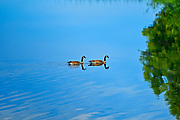 Canada geese (Branta canadensis) on ANdy Lake<br />