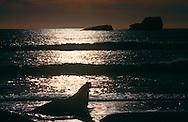 USA, Vereinigte Staaten Von Amerika: Nördlicher See-Elefant (Mirounga angustirostris), See-Elefantenbulle bei Sonnenuntergang an Kalifornischer Küste, im seichten Wasser des Küstensaumes, Silhouette, Strand direkt neben California State Route 1, San Simeon, Kalifornien | USA, United States Of America: Northern Elephant Seal (Mirounga angustirostris), bull elephant seal in sunset at Californian coast, in shallow water, silhouette, beach directly next to Cabrillo Highway 1, San Simeon, California |