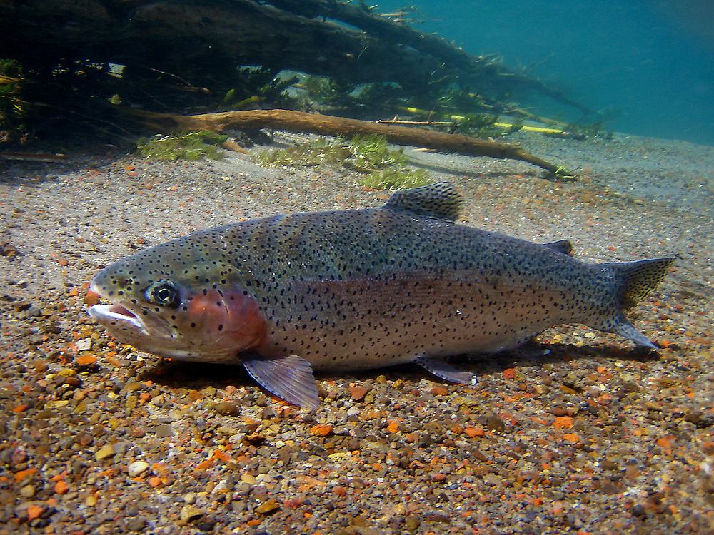 Rainbow trout swimming in a spring creek.