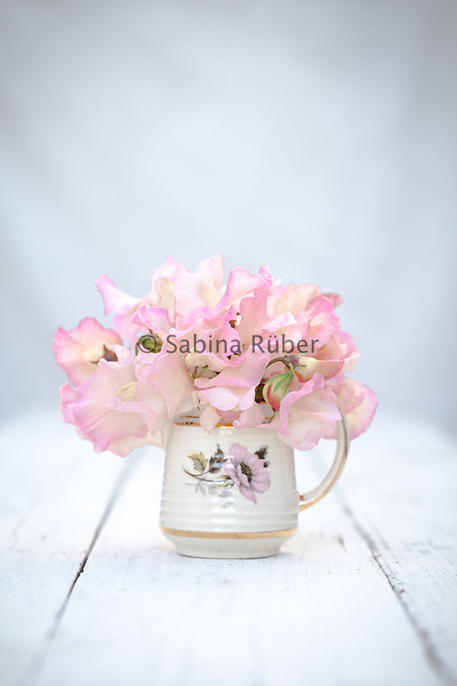Lathyrus odoratus 'Mollie Rilstone' - sweet pea