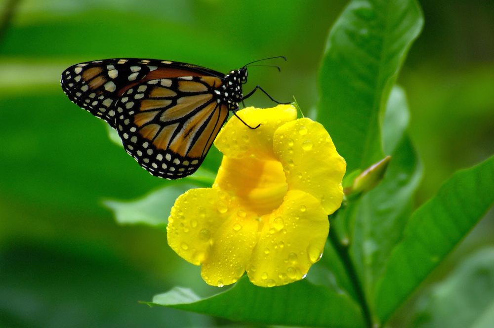 Butterflies at Bird Park, Parque dos Ares, Foz do Iguazu, Parana,  Brazil