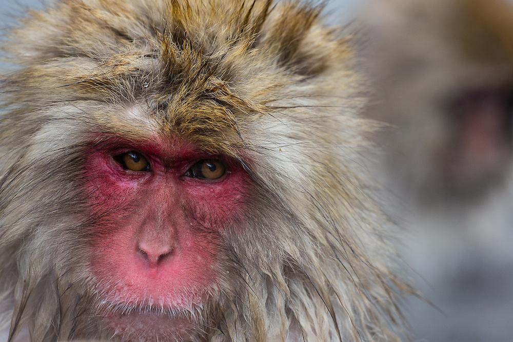 A portrait of a japanese macaque (Macaca Fuscata) in Jigokudani, Yudanaka
