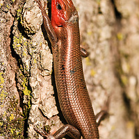 An adult male five-lined skink (Eumeces fasciatus) climbs the trunk of a tree, Huntley Meadows Park, Alexandria, Fairfax County, Virginia.