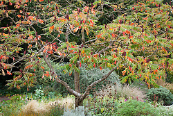 Rhus typhina in the gravel garden at Beth Chatto's garden in Essex<br /> stag's horn sumach