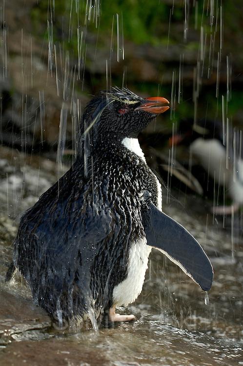 Der pure Genuß für einen Seevogel ist die Gefiederpflege mit Süßwasser. Diese Felsenpinguine (Eudyptes chrysocome) haben sogar eine sonnige Großraumdusche, aber Luxus macht offenbar aggressiv: Nirgendwo sonst in der Felsenpinguinkolonie kommt es so oft zu Streitereien.    What a seabird enjoys most is a freshwater bath. These rockhopper penguins (Eudyptes chrysocome) even have a huge sunny shower, but luxury seems to make quarrelsome: nowhere else in the rockhopper colony so much aggressive behaviour can be seen.  [size of single organism: 50 cm]