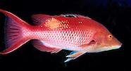 Pig fish