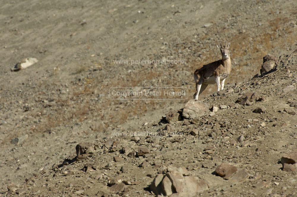 Ladakh urial (ovis vignei vignei) standing on rocky slope in Ladakh. Spotted from a position near the road towards Srinagar a few miles outside Leh.