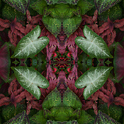 Computer abstract of altered and enhancement of Coleus as digital computer art.<br /> <br /> Two or more layers were used to enhance, alter, manipulate the image, creating an abstract surrealistic mirrored symmetry.