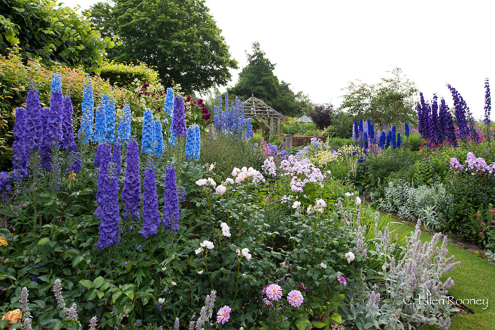 A collection of Delphiniums including 'Tiddles', 'Skyline' and Strawberry Fair' in borders in The Compass Garden at Wollerton Old Hall, Wollerton, Market Drayton, Shropshire, UK