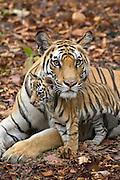 Bengal Tiger<br /> Panthera tigris <br /> Mother and eight week old cub<br /> Bandhavgarh National Park, India