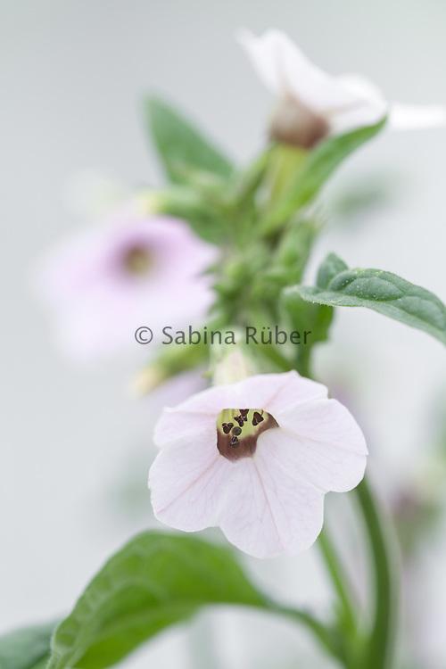 Nicotiana mutabilis - tobacco plant