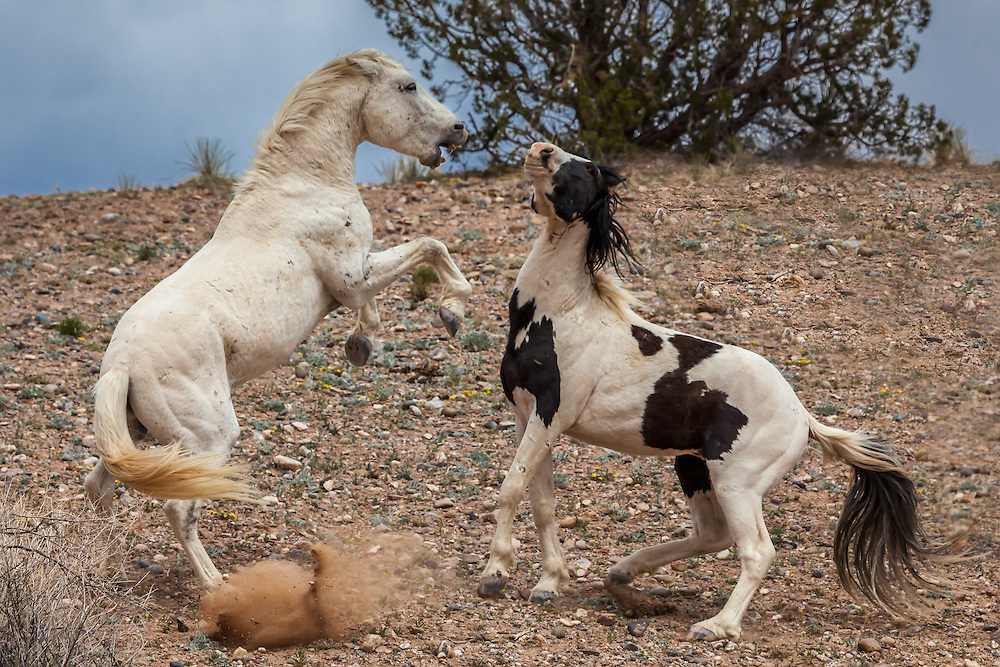Dominant wild Mustangs from rival herds tussle over territory, Placitas, New Mexico