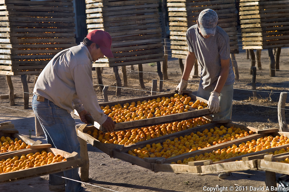Workmen stacking racks with peaches drying, San Rafael, Argentina