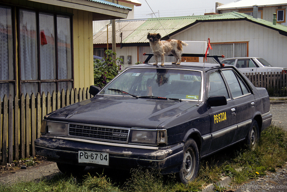 Americas, South America, Chile, Puerto Natales. A dog guards his property, or simply wishes to be bigger, in Puerto Natales, a town with many dogs.