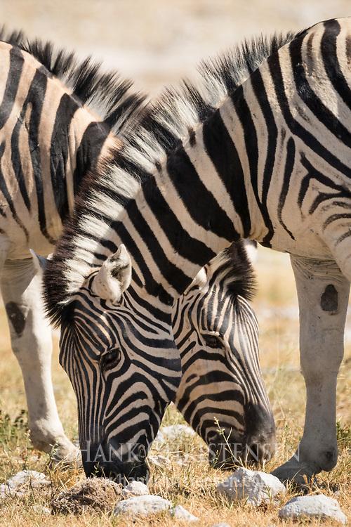 Two plains zebra graze side by side, Etosha National Park, Namibia.