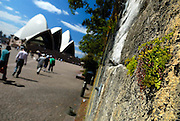 Maidenhair Fern (Adiantum sp, most likely Adiantum aethiopicum) clinging to rock wall, Sydney Opera House in background. Sydney, Australia