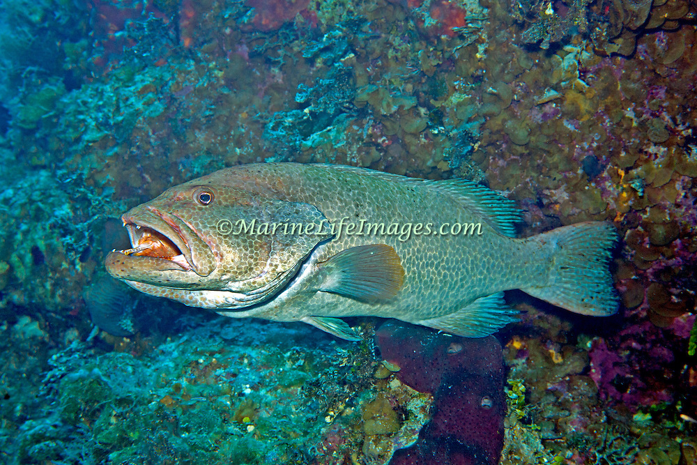 Tiger Grouper inhabit reefs in Tropical West Atlantic; picture taken San Salvador, Bahamas.
