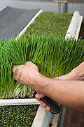 harvesting Wheat Grass Sprouts On an Organic farm