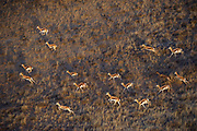 Springbok (Antidorcas marsupialis)<br /> Private game ranch<br /> Great Karoo<br /> SOUTH AFRICA