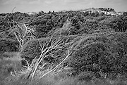 A dead tree contrasts against the large dunes and shrub thickets on Bear Island.