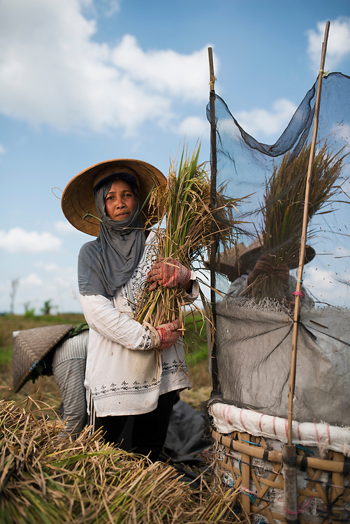 Rice harvest, threshing and winnowing in the field in Bali. Women cut the rice, hand it to other women who thresh it in the basket with the netting around (to prevent the rice being lost) and then other women winnow out the straw and chaff. <br /> Biang Dewa Gede (wearing the white shirt, standing by basket.)