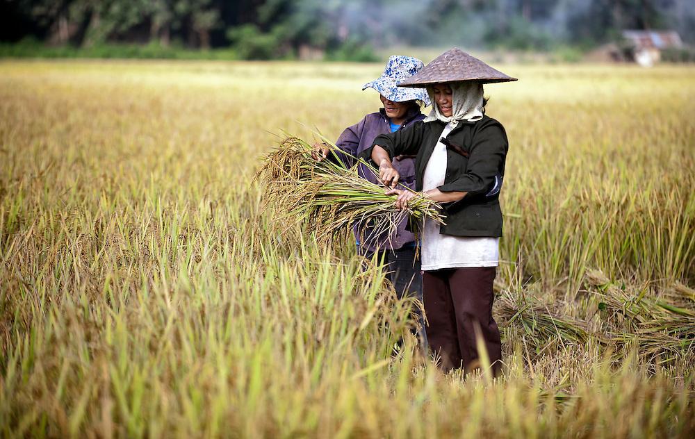 Harvesting rice in Luang Prabang, Laos.