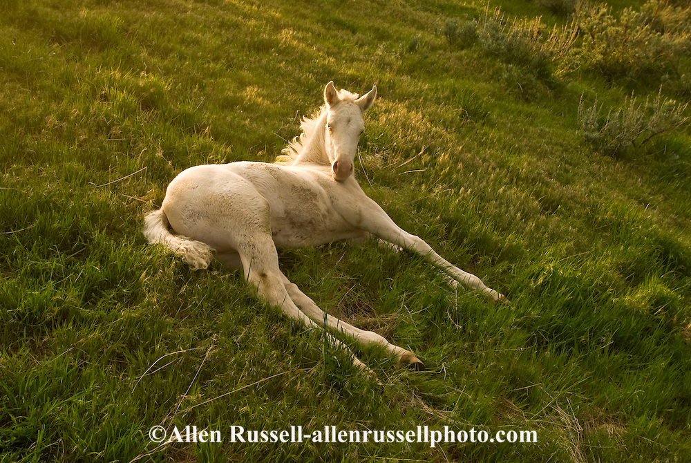 Quarter Horse, Cremello foal<br /> PROPERTY RELEASED