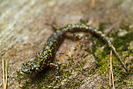 Green Salamanders (Aneides aeneus) are a IUCN red-listed species that are primarily only found in a handful of locations throughout the Southern Appalachian Mountains.  Unlike most salamanders, which prefer very wet habitat, Green Salamanders are often found in moist crevices in granitic outcrops and in trees.