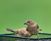 Female House Finch. Image taken with a Nikon D810a camera and 600 mm f/4 VR telephoto lens