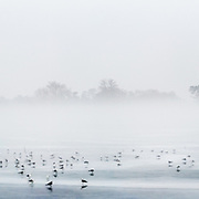 A flock of Seagulls stand on a frozen over Tidal Basin as the Jefferson Memorial is shrouded in fog in Washington, D.C.