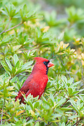 Cardinal on azalea bush.