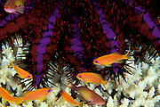orange basslets, Pseudanthias squamipinnis, stay by crown of thorns sea star, Acanthaster planci, ready to take shelter among venomous spines, Similan Islands, Thailand ( Indian Ocean - Andaman Sea )