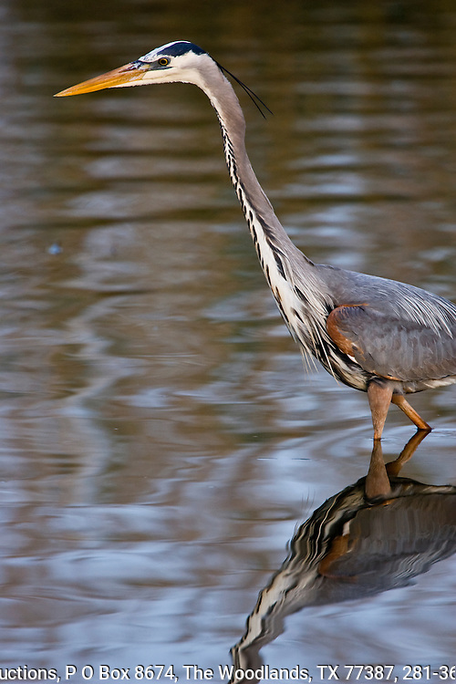 Great blue heron, spring plumage, Anahuac National Wildlife Refuge, upper Texas coast, feeding in shallow pond.
