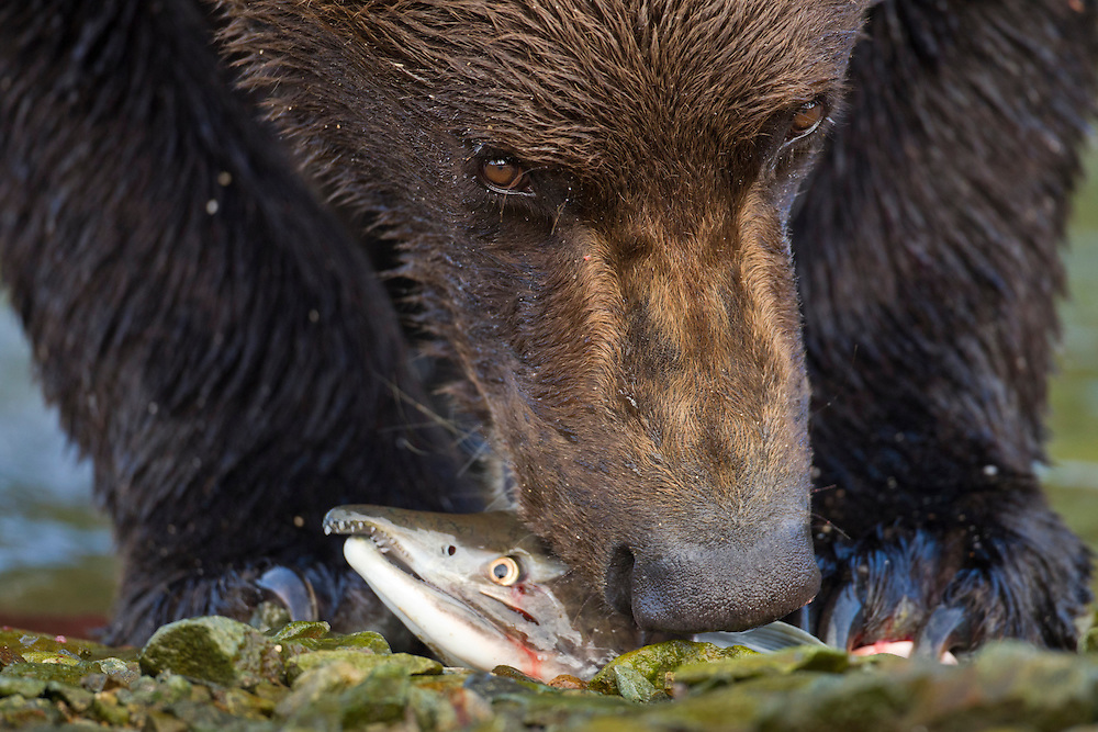 USA, Alaska, Katmai National Park, Coastal Brown Bear (Ursus arctos) bites into Pink Salmon (Oncorhynchus gorbuscha) pulled from spawning stream along Kinak Bay