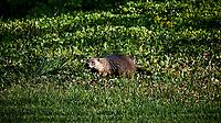 Ground Hog Image taken with a Nikon D4 camera and 600 mm f/4 VR lens